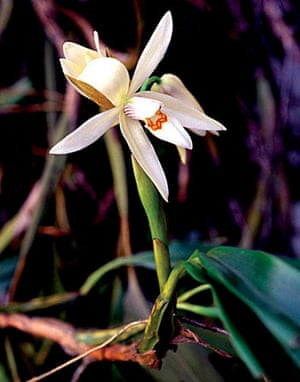 The Eastern Himalayas: New species discovered by WWF: Coelogyne pantlingii orchid