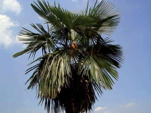 The Eastern Himalayas: New species discovered by WWF: Saramati palm