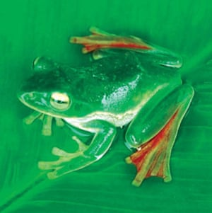 The Eastern Himalayas: New species discovered by WWF: Flying frog