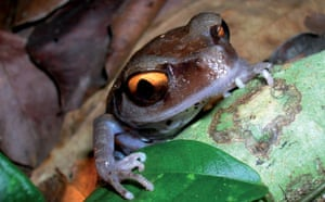 The Eastern Himalayas: New species discovered by WWF: Smith's litter frog