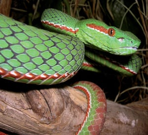 The Eastern Himalayas: New species discovered by WWF: Gumprecht's green pitviper