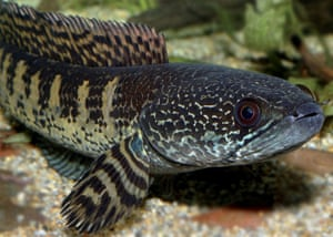 The Eastern Himalayas: New species discovered by WWF: Orange-spotted snakehead