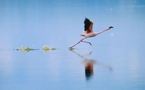 The Crimson Wing: The Crimson Wing: Flamingos