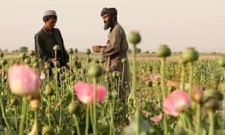 Afghans in a poppy field in Kandahar