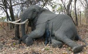Trophy Hunting: hunting elephant