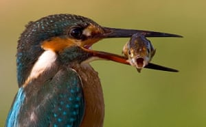 Week in Wildlife: AMAZING SHOT OF KINGFISHER and FISH