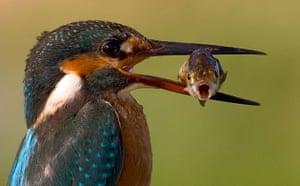 Week in Wildlife: AMAZING SHOT OF KINGFISHER and FISH