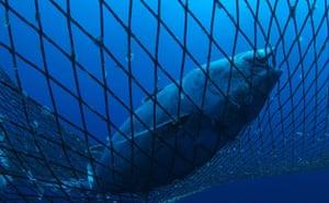Week in Wildlife: Captive Tuna in Mediterranean