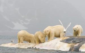 Week in Wildlife: POLAR BEARS PHOTOGRAPHED IN & AROUND SVALBARD NORWAY