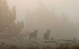 Week in Wildlife: Wolves are seen in a forest in radiation-ecology reserve, Minsk
