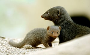 Week in Wildlife: dwarf mongoose pup stands next to its parent at the Bronx Zoo in New York