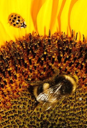 Week in Wildlife: A bumble bee is seen on a sunflower as a ladybug sits on a petal, London