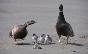 Week in Wildlife: Pacific Brant family on the Yukon-Kuskokwim Delta, Alaska
