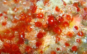 Week in Wildlife: New coral, the genera Hydrozoanthus, discovered in the Galapagos Islands