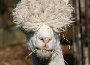 Week in Wildlife: Alpaca at Vauxhall City Farm