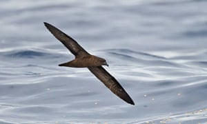 The first Fiji Petrel to be photographed at sea, Gau Island, Fiji, during the Tubenoses expedition