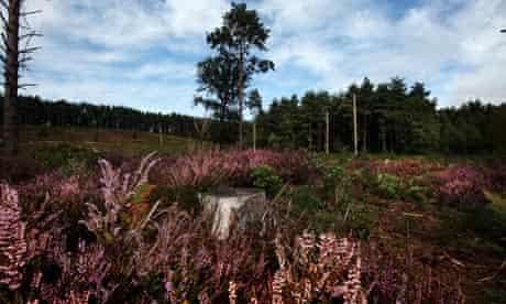 Heathland lavender at the RSPB Farnham Heath nature reserve