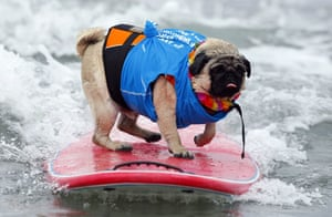 24 hours in pictures: A Pug named Bentley rides a wave