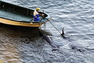 Dolphins in Japan: A fisherman tows away what appear to be pilot whales