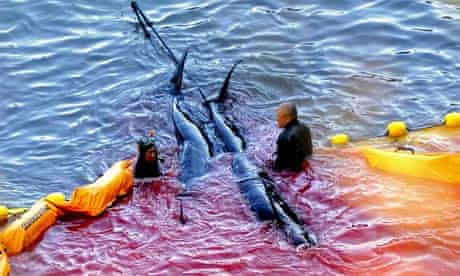 Fisheries workers guide what appear to be pilot whales at a cove in Taiji, Japan