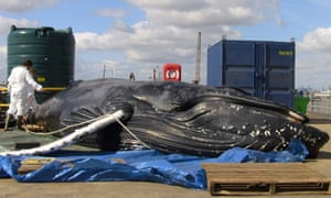 Dead humpback whale found near Dartford Bridge in London