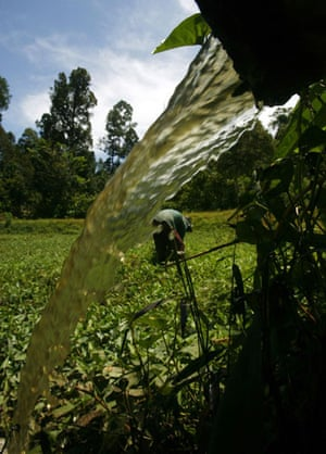 Deforestation on Sumatra: water spinach growing in a polluted pond Indoneisa