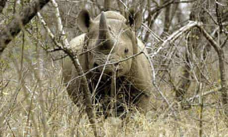 A black male rhinoceros is seen at a game farm in Malelane, South Africa
