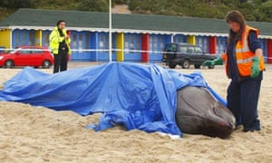 Beached  female Northern Bottle Nose Whale on Bournemouth beach
