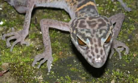 Cat Ba leopard gecko discovered in the Greater Mekong River region, Vietnam