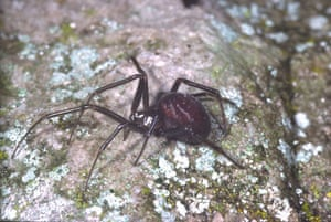 Spiders: Large false-widow Spider