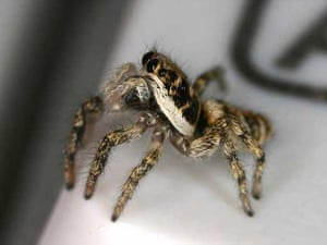 Spiders: Common zebra jumping spider