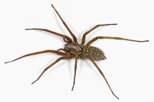 Spiders: A female house spider