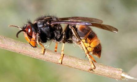 Asian predatory hornet, Vespa velutina