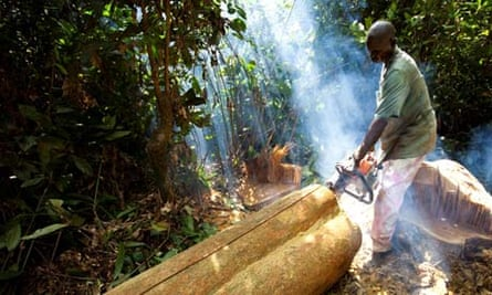 Prince's Rainforests Project, Deforestation in DRC, Democratic Republic of Congo, Afromosia tree