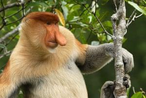Life in the Wild: Proboscis monkey