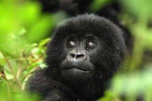 Life in the Wild: Infant mountain gorilla