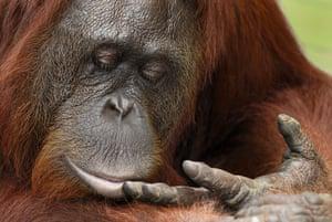 Life in the Wild: Bornean orangutan