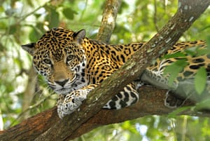 Life in the Wild: Jaguar resting in a tree