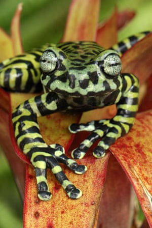 Life in the Wild: Tiger's Treefrog on bromeliad in Narino, Colombia