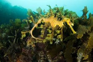 Life in the Wild: Leafy sea dragon