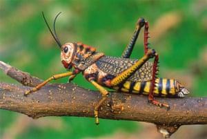 Life in the Wild: Peruvian grasshopper