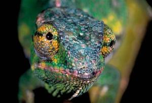 Life in the Wild: Chameleon