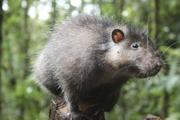 lost land of the volcano : Bosavi Woolly Rat