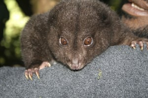 lost land of the volcano : The Bosavi Silky Cuscus