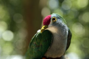 lost land of the volcano : A Beautiful  Fruit Dove