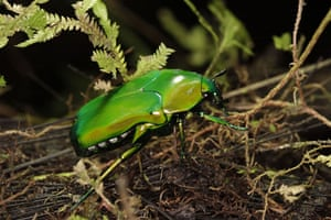 lost land of the volcano : An iridescent Beetle found in the New Guinea rainforest
