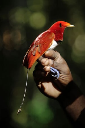 lost land of the volcano : The King Bird of Paradise
