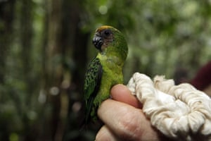 lost land of the volcano : Buff Faced Pygmy Parrot