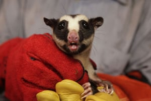 lost land of the volcano : A Striped Possum