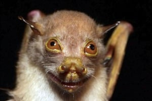lost land of the volcano : Common Tube-nosed Bat (Nyctimene albiventer)